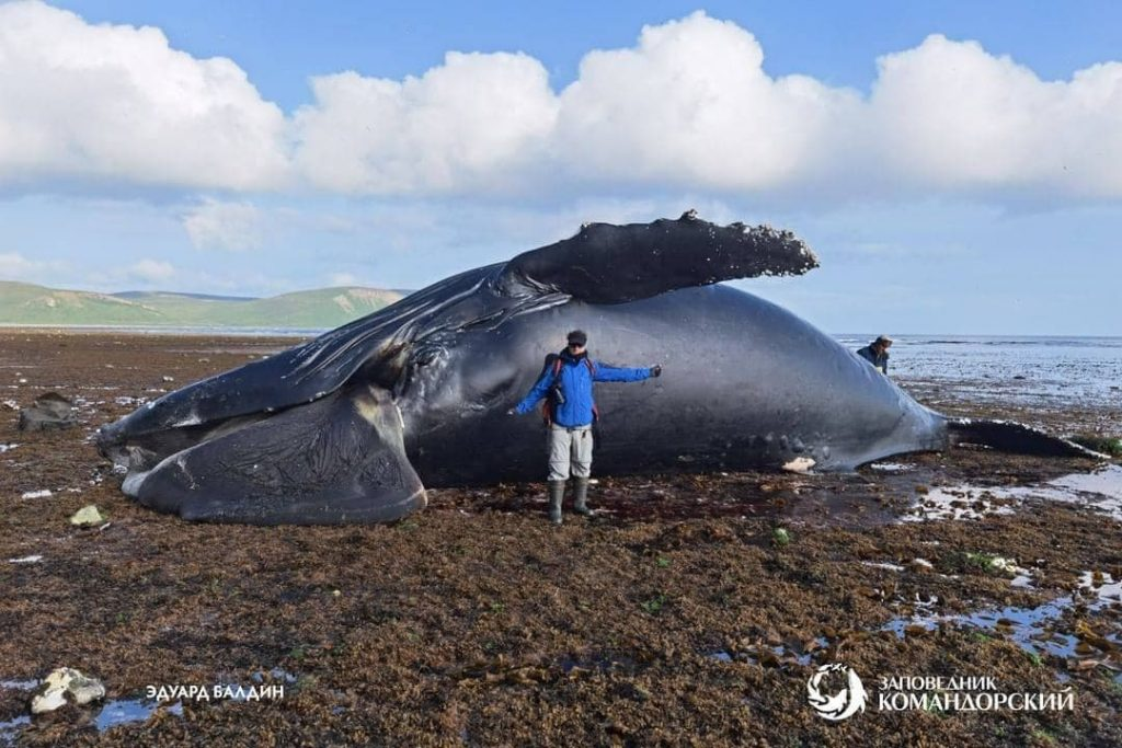 A 13-meter-long whale was found on Bering Island
